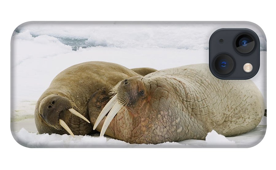 Feb0514 iPhone 13 Case featuring the photograph Walrus Male And Female On Ice Floe by Konrad Wothe