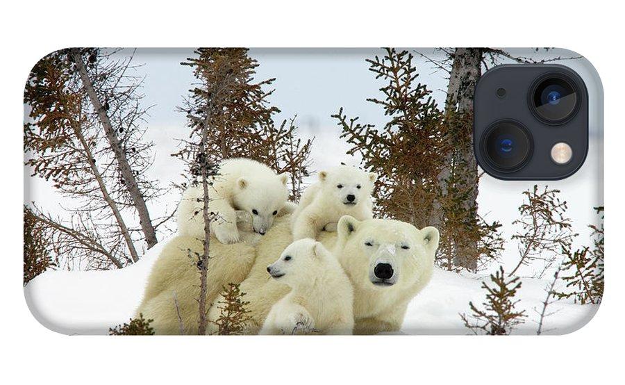Mp iPhone 13 Case featuring the photograph Polar Bear Ursus Maritimus Trio by Matthias Breiter