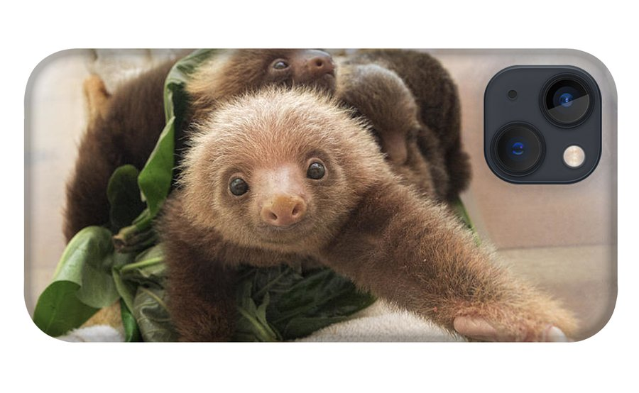 Mp iPhone 13 Case featuring the photograph Hoffmanns Two-toed Sloth Choloepus by Suzi Eszterhas