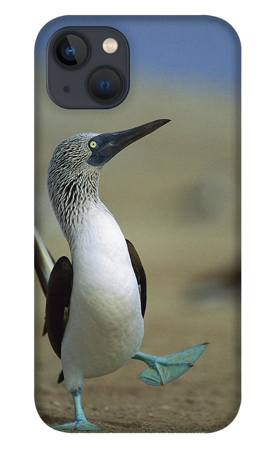 Blue-footed Booby iPhone 13 Case featuring the photograph Blue-footed Booby Sula Nebouxii by Tui De Roy