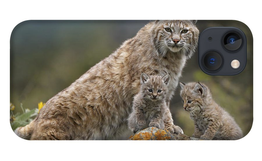 00177004 iPhone 13 Case featuring the photograph Bobcat Mother And Kittens North America by Tim Fitzharris