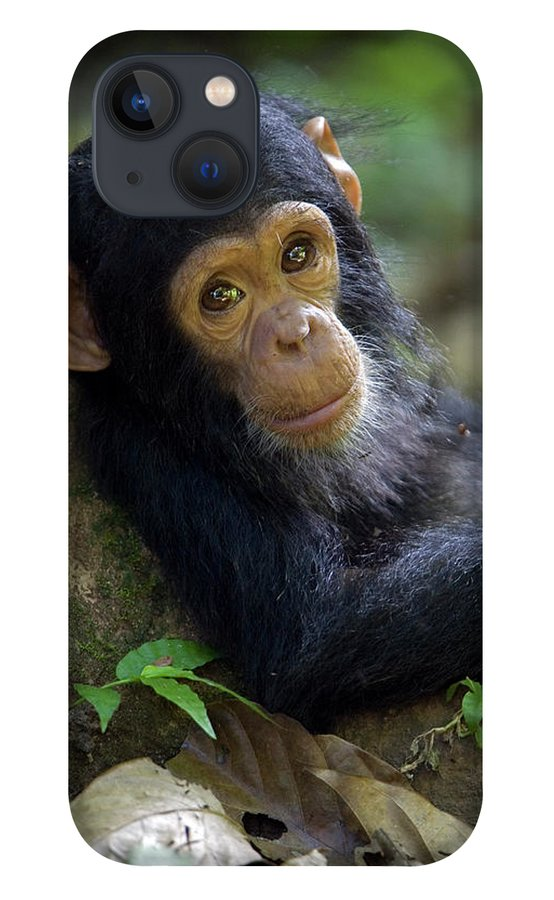 Mp iPhone 13 Case featuring the photograph Chimpanzee Pan Troglodytes Baby Leaning by Ingo Arndt