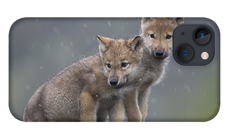 Mp iPhone 13 Case featuring the photograph Gray Wolf Canis Lupus Pups In Light by Tim Fitzharris