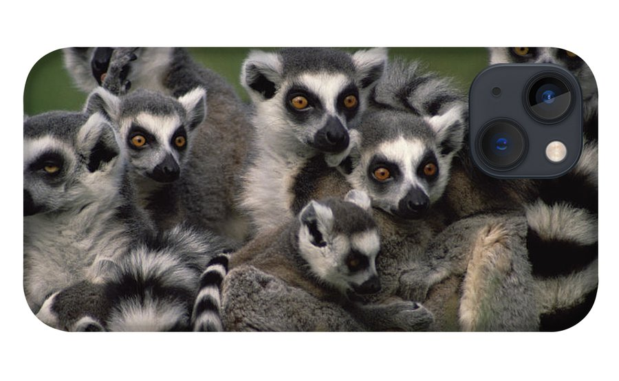 Mp iPhone 13 Case featuring the photograph Ring-tailed Lemur Lemur Catta Group by Gerry Ellis