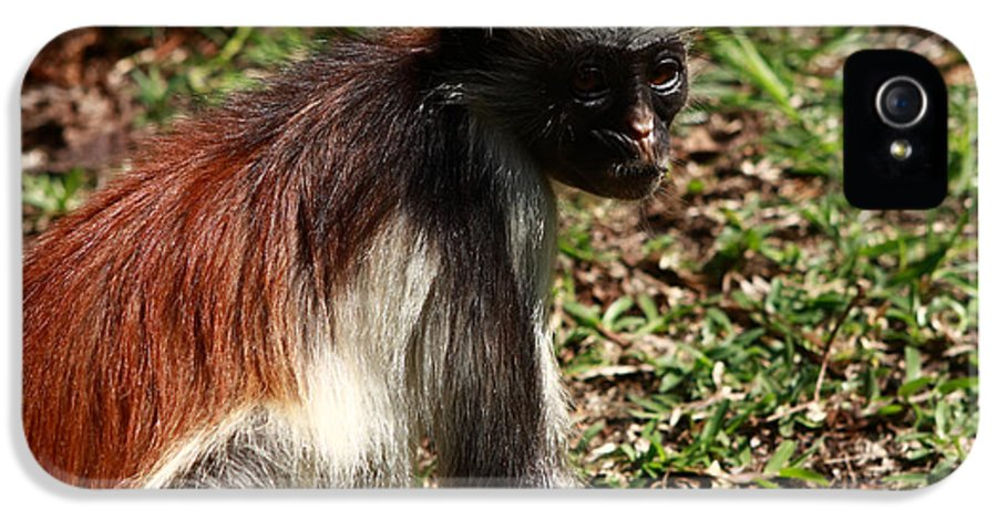 Red Colobus Monkey IPhone 5 Case featuring the photograph Colobus Monkey by Aidan Moran
