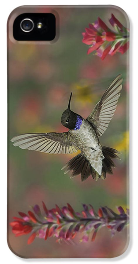 Arizona IPhone 5 Case featuring the photograph Black-chinned Hummingbird by Gregory Scott