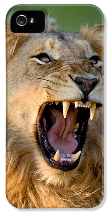 South IPhone 5 Case featuring the photograph Lion by Johan Swanepoel