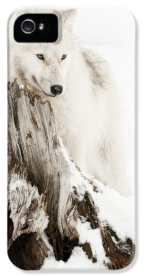 Arctic Wolf Photography IPhone 5 Case featuring the photograph Arctic Wolf Pup by Wolves Only