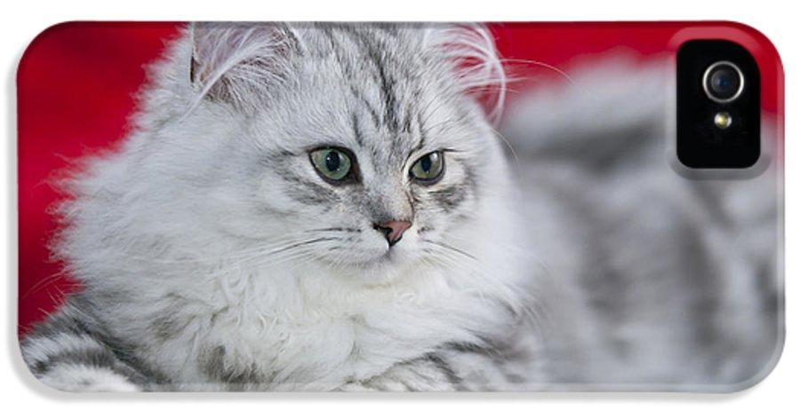 Felidae IPhone 5 Case featuring the photograph British Longhair Kitten by Melanie Viola