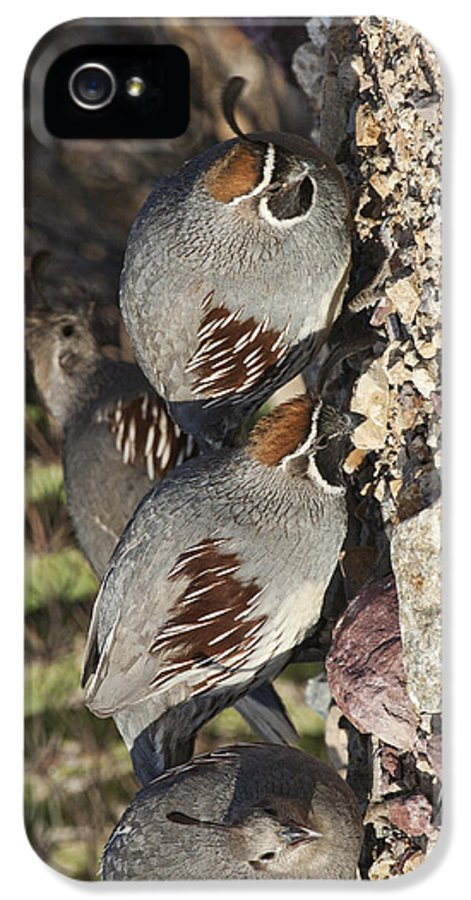 Bird IPhone 5 Case featuring the photograph Gambel's Quail by Gregory Scott