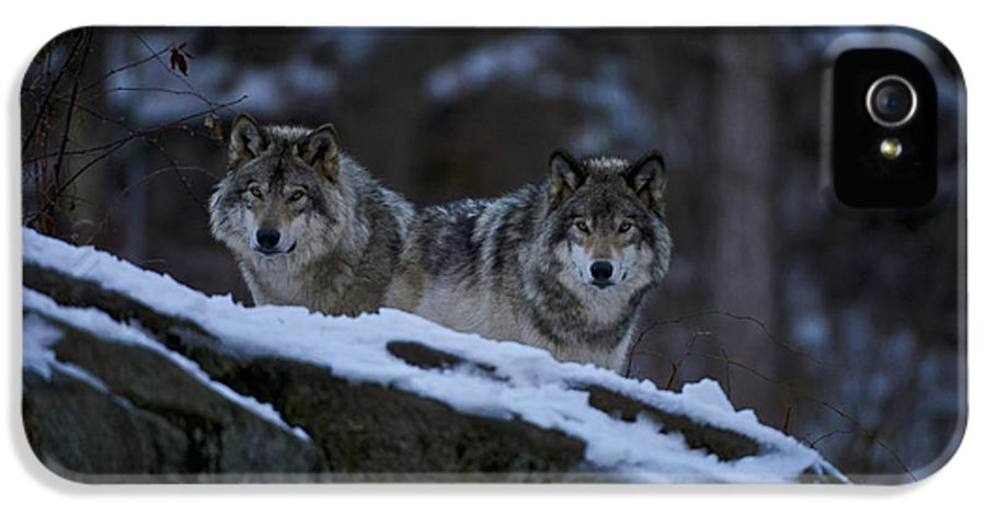 Timber Wolf Photography IPhone 5 Case featuring the photograph Timber Wolf Pictures by Wolves Only