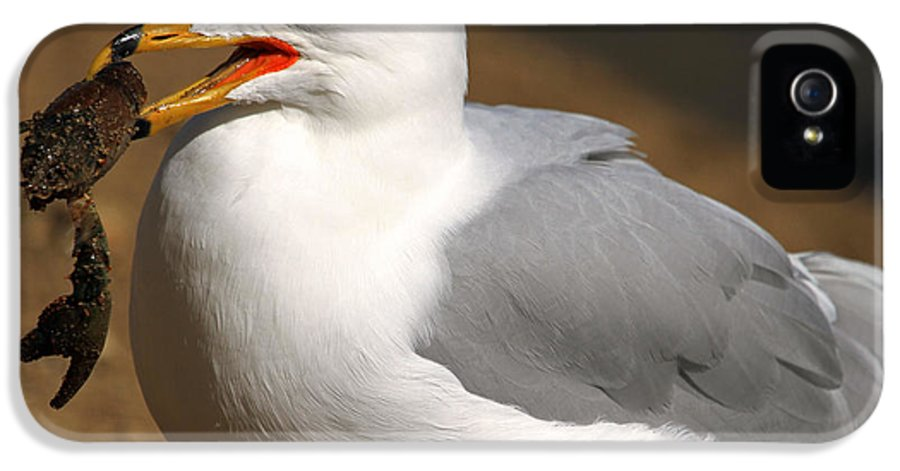 Ring-billed Gull IPhone 5 Case featuring the photograph A Little Bit Crabby by Donna Kennedy