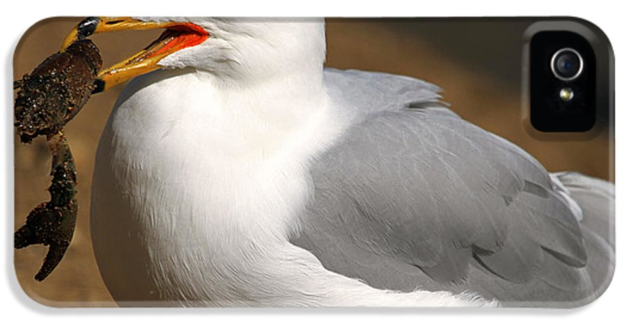 Ring-billed Gull IPhone 5 / 5s Case featuring the photograph A Little Bit Crabby by Donna Kennedy