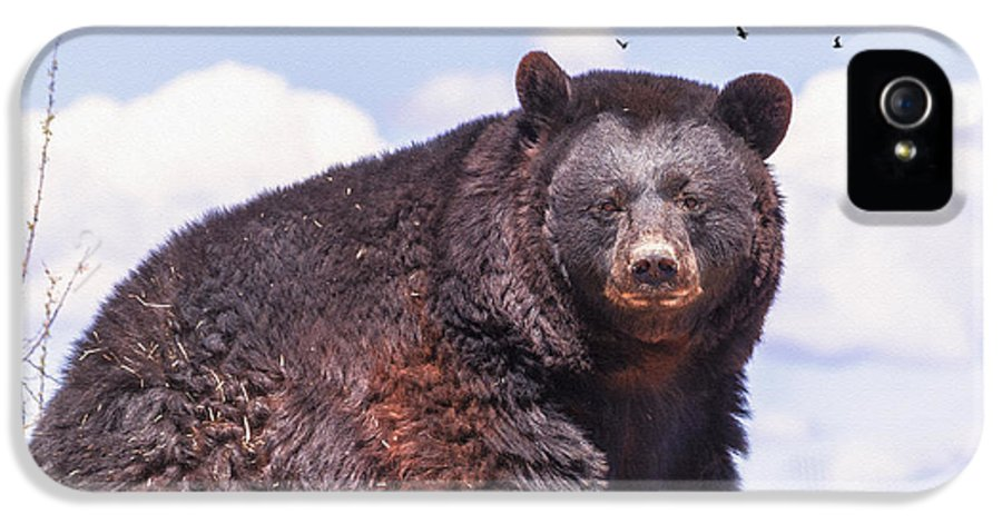 Bear IPhone 5 Case featuring the photograph American Black Bear by Janice Rae Pariza