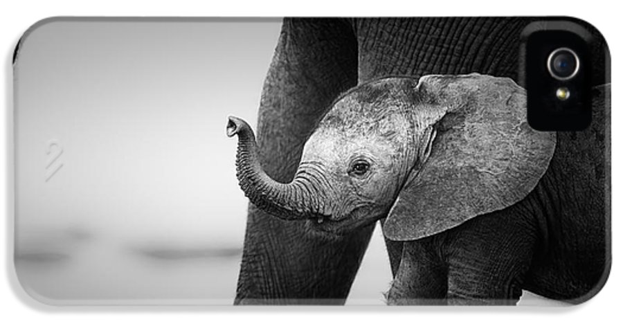 Elephant IPhone 5 Case featuring the photograph Baby Elephant Next To Cow by Johan Swanepoel