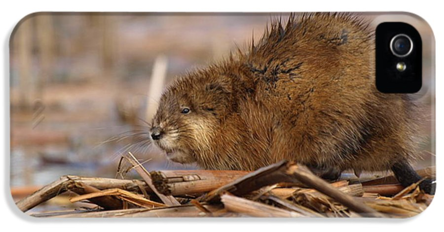 Nature IPhone 5 Case featuring the photograph Beautiful Muskrat by James Peterson