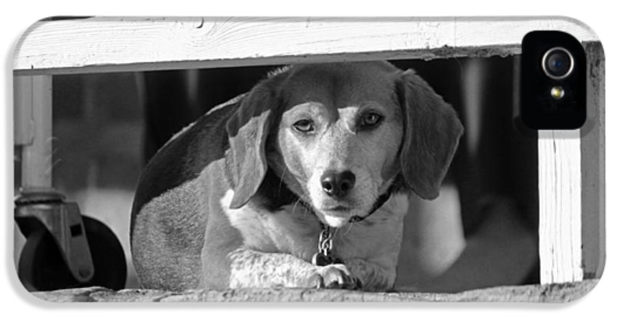 Dog IPhone 5 Case featuring the photograph Beware - Guard Beagle On Duty In Black And White by Suzanne Gaff