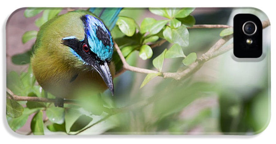 Blue-crowned Motmot IPhone 5 Case featuring the photograph Blue-crowned Motmot by Rebecca Sherman