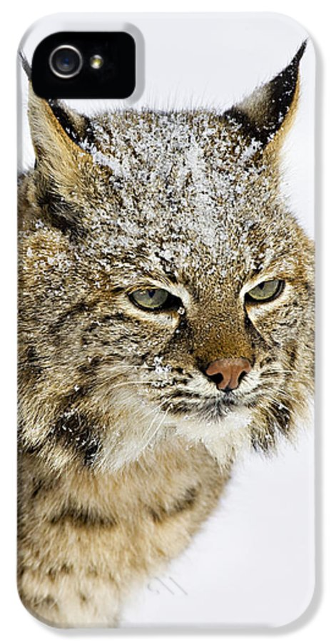 Bobcat IPhone 5 Case featuring the photograph Bob by Jack Milchanowski