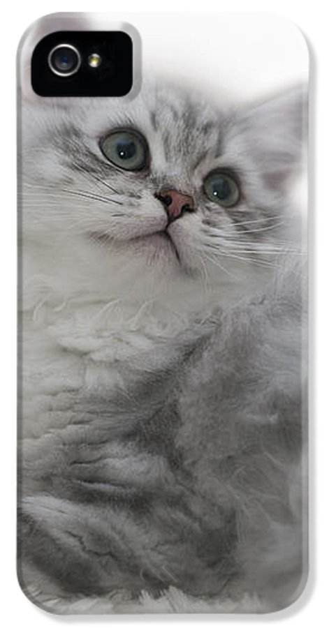 Felidae IPhone 5 Case featuring the photograph British Longhair Kitten by Melanie Viola