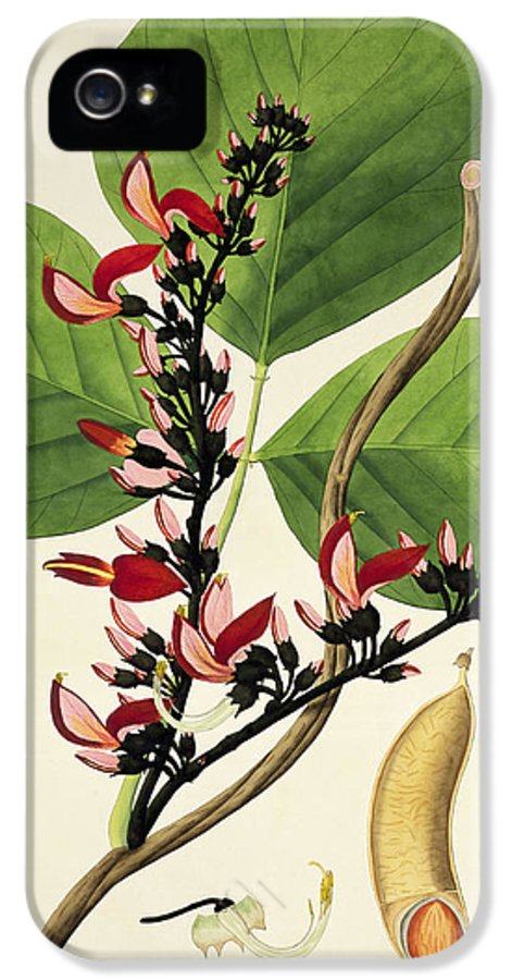 Plant IPhone 5 Case featuring the painting Butea Superba by William Roxburgh