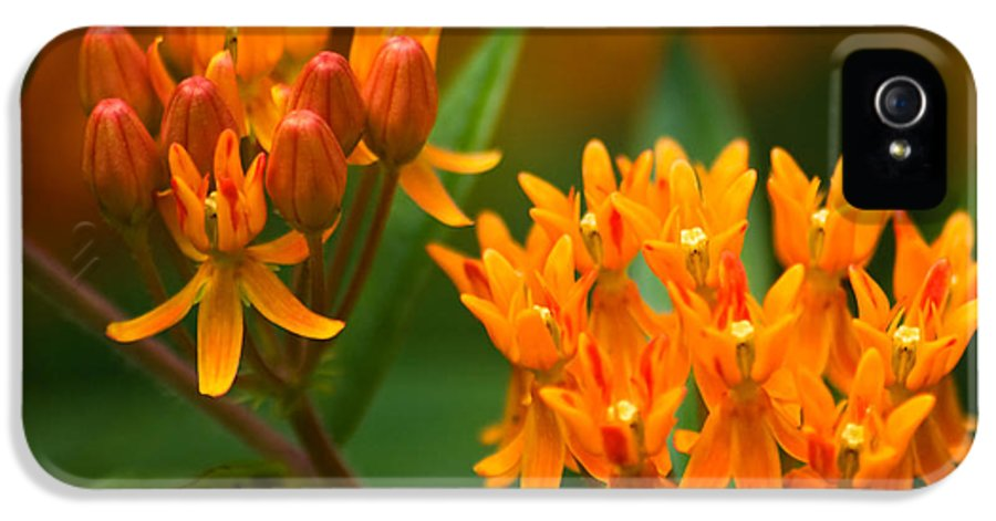 3scape Photos IPhone 5 Case featuring the photograph Butterfly Milkweed by Adam Romanowicz