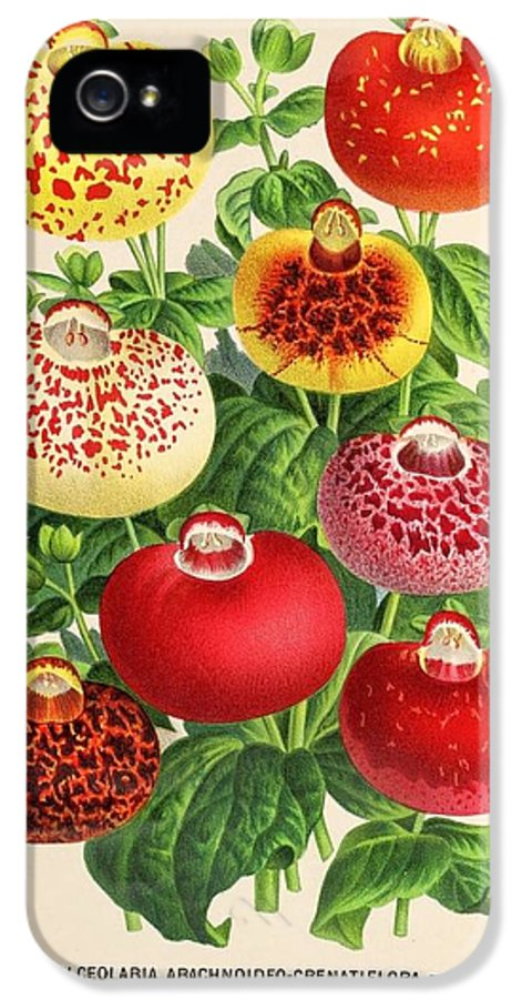 Belgian IPhone 5 Case featuring the painting Calceolaria From A Vintage Belgian Book Of Flora. by Unknown