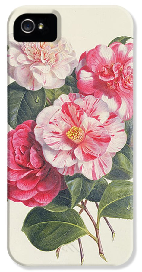 Flower IPhone 5 / 5s Case featuring the painting Camelias by Augusta Innes Withers