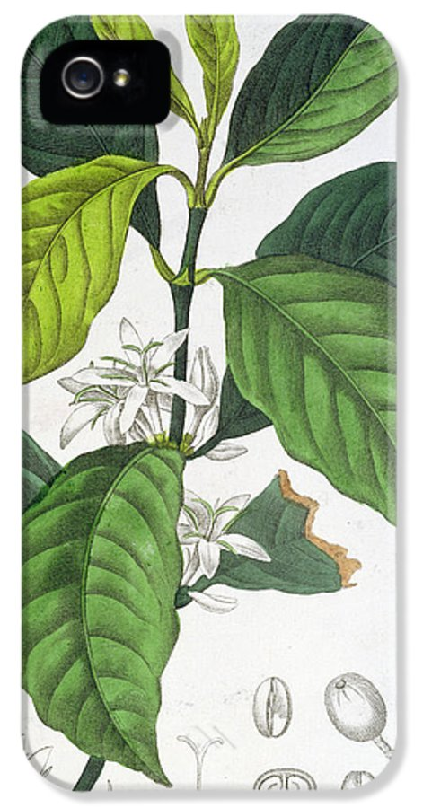 Plant IPhone 5 Case featuring the painting Coffea Arabica by Pancrace Bessa