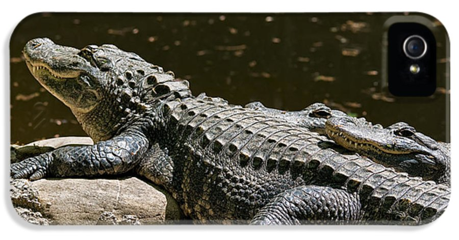 Alligator IPhone 5 Case featuring the photograph Comfy Cozy by Lois Bryan