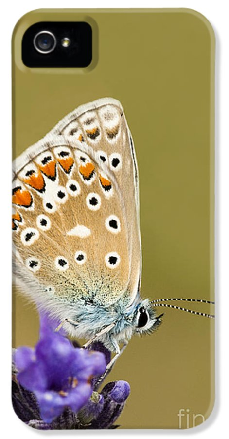 Angustifolia IPhone 5 Case featuring the photograph Common Blue by Anne Gilbert