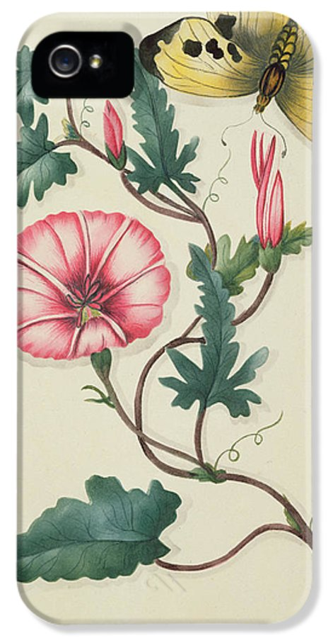 Bindweed IPhone 5 Case featuring the painting Convolvulus With Yellow Butterfly by English School