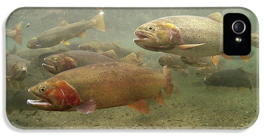 Feb0514 IPhone 5 Case featuring the photograph Cutthroat Trout In The Spring Idaho by Michael Quinton