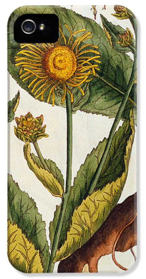 Still-life IPhone 5 Case featuring the painting Elecampane by Elizabeth Blackwell