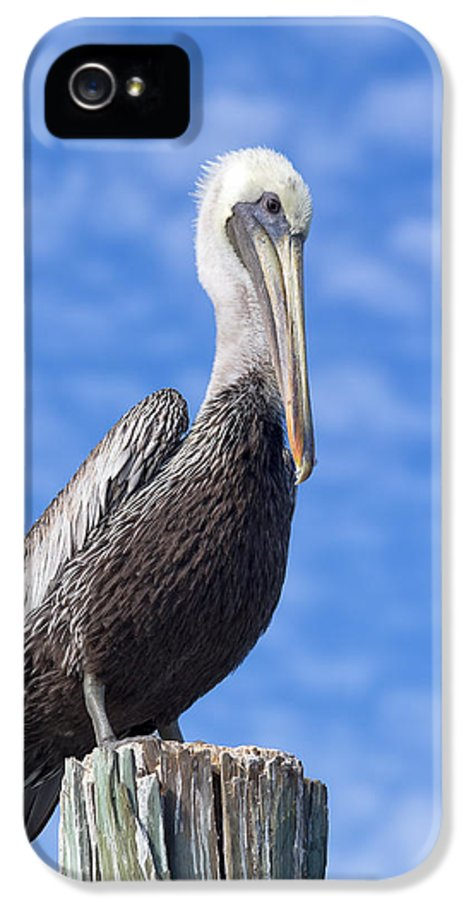 Pelican IPhone 5 Case featuring the photograph Florida Brown Pelican by Kim Hojnacki