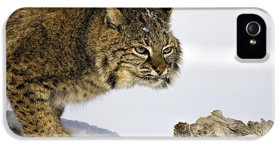 Bobcat IPhone 5 Case featuring the photograph Focusing by Jack Milchanowski