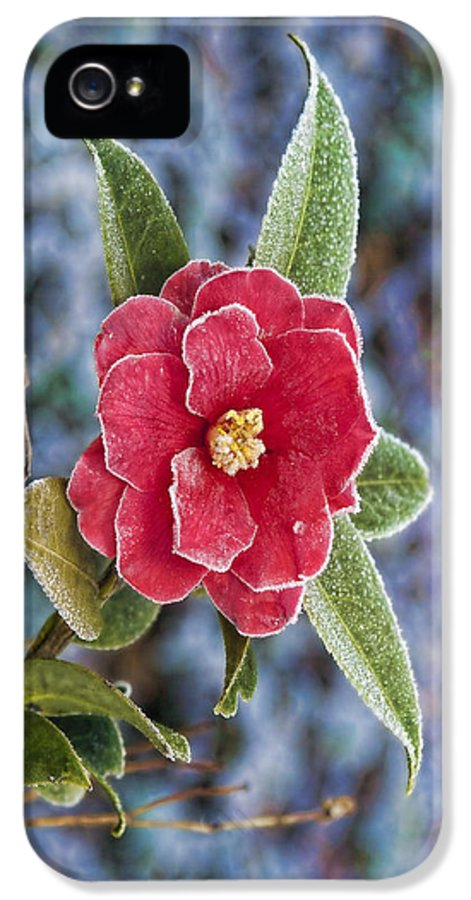 Gregscott IPhone 5 Case featuring the photograph Frosty Camellia - Phone Case Design by Gregory Scott