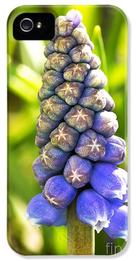 April IPhone 5 Case featuring the photograph Grape Hyacinth Closeup by Jane Rix