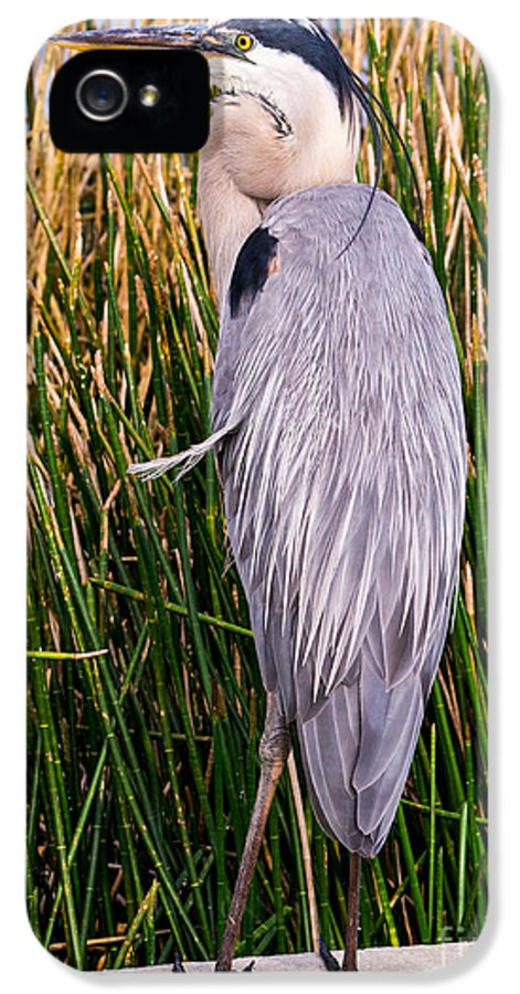 2013 IPhone 5 Case featuring the photograph Great Blue Heron by Edward Fielding