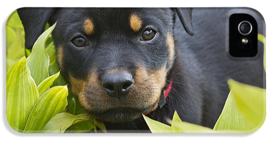 Rottweiler;rottweiler Puppy;pet IPhone 5 / 5s Case featuring the photograph Hey Here I Am by Heiko Koehrer-Wagner