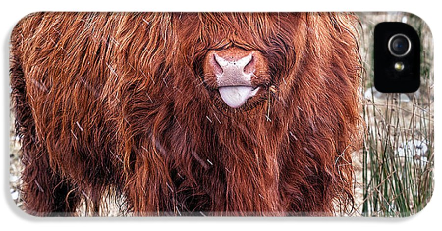Highland Cow IPhone 5 Case featuring the photograph Highland Coo With Tongue Out by John Farnan