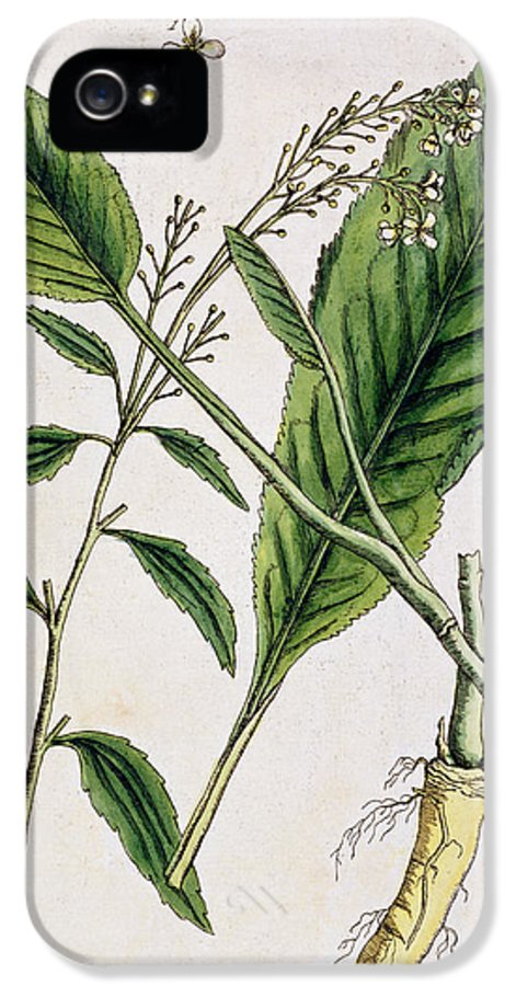 Cutting IPhone 5 / 5s Case featuring the painting Horseradish by Elizabeth Blackwell