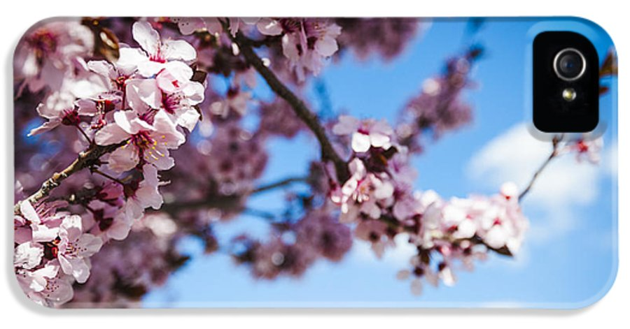 Japanese Sakura Blossoms In Springtime IPhone 5 Case featuring the photograph Japanese Sakura by Anthony Citro