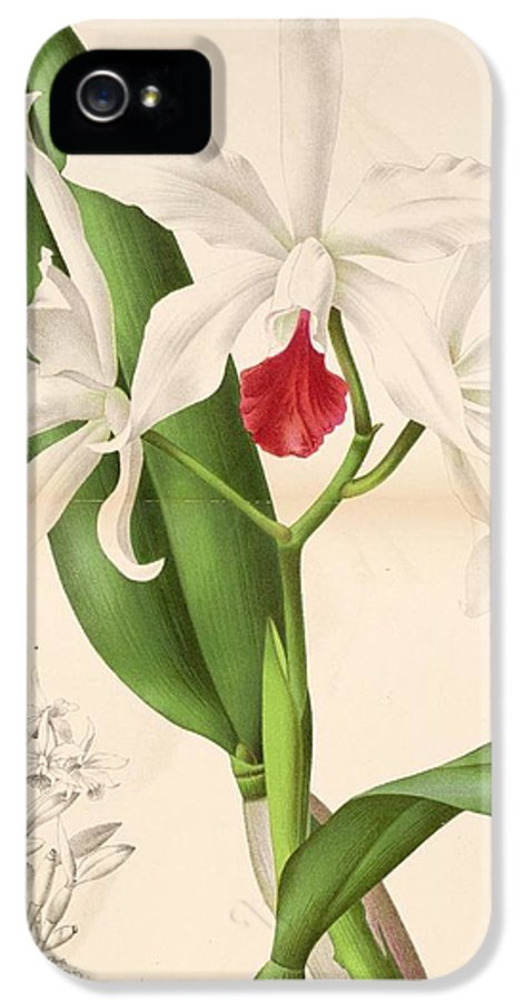 Belgian IPhone 5 Case featuring the painting Laelia Elegans by Philip Ralley
