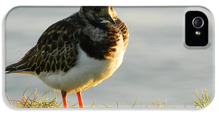 Sea Birds IPhone 5 Case featuring the photograph Little Turnstone by Sharon Lisa Clarke