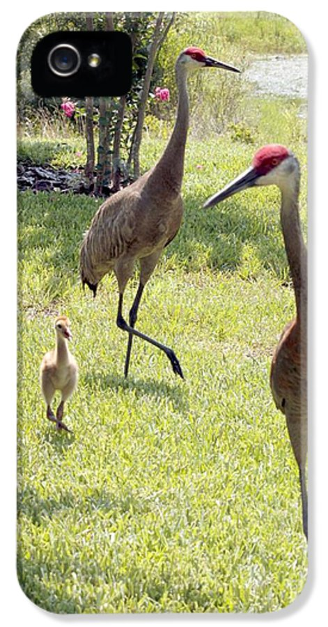 Sandhill Crane IPhone 5 Case featuring the photograph Looking For A Handout by Carol Groenen
