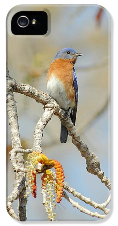 Animal IPhone 5 Case featuring the photograph Male Bluebird In Budding Tree by Robert Frederick