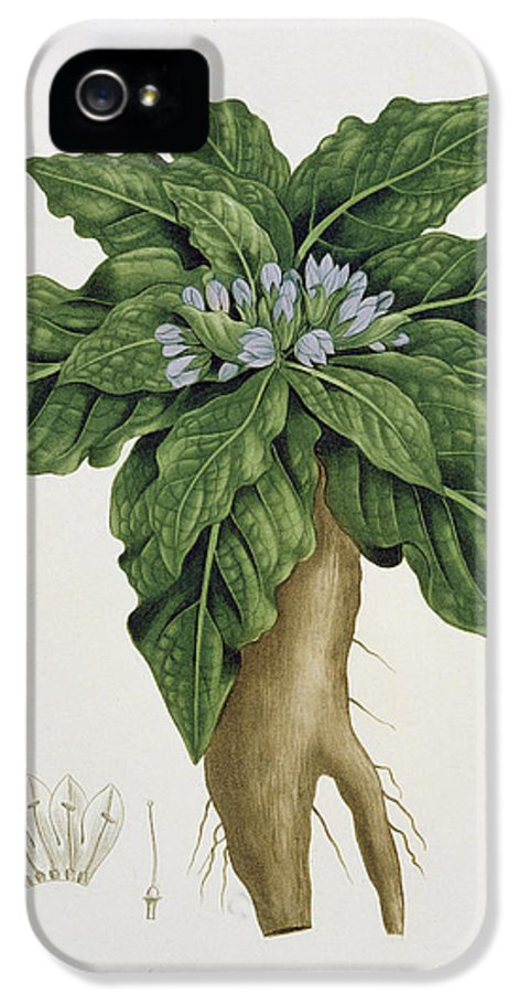 Floral IPhone 5 Case featuring the painting Mandragora Officinarum by LFJ Hoquart