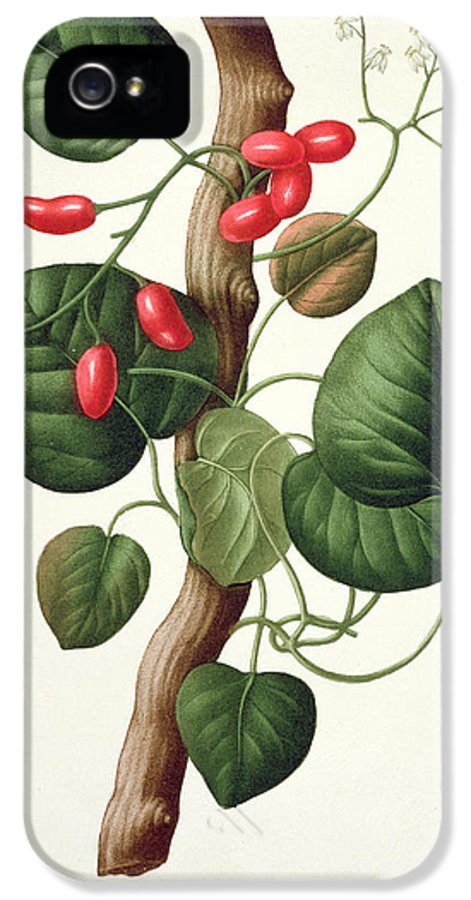 Floral IPhone 5 Case featuring the painting Menispermum by LFJ Hoquart