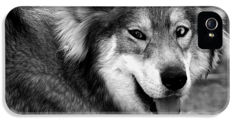 Dog IPhone 5 Case featuring the photograph Miley The Husky With Blue And Brown Eyes - Black And White by Doc Braham